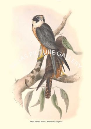 White-Fronted Falcon - Microhierax Latifrons